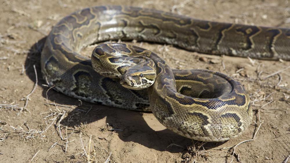 En Birmanie, un temple bouddhiste transformé en havre pour pythons