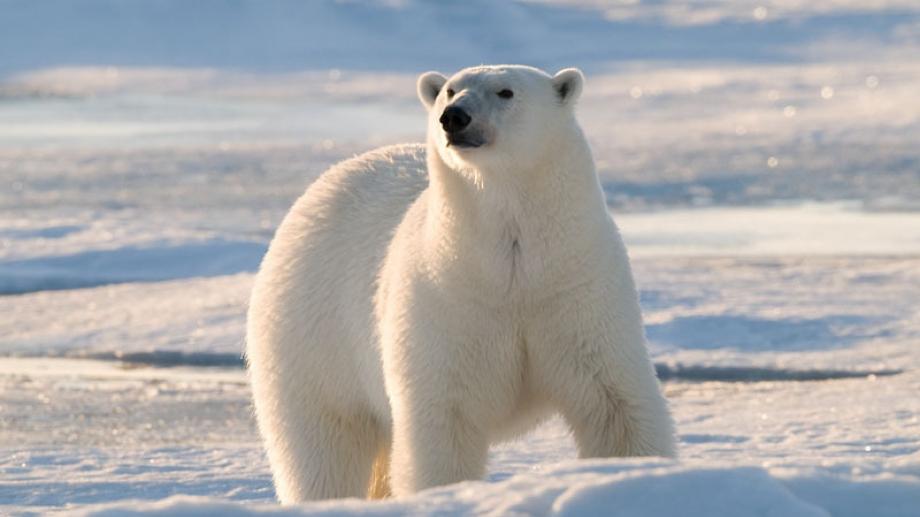 Russie : quand des ours polaires envahissent la ville