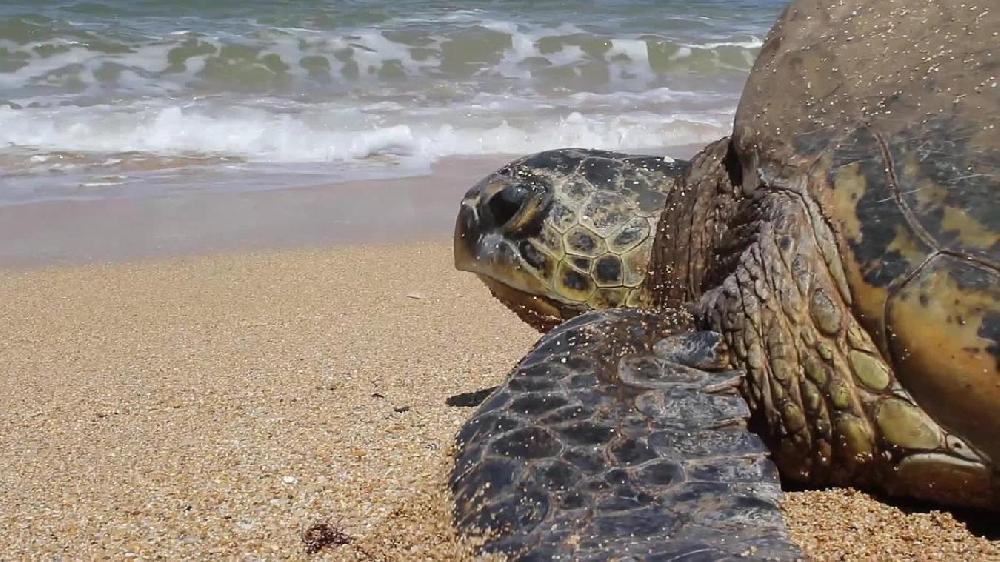Maldives: une tortue découvre que sa plage est devenue un aéroport