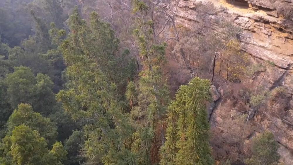 Australie : des arbres vieux de 200 millions d'années sauvés des flammes