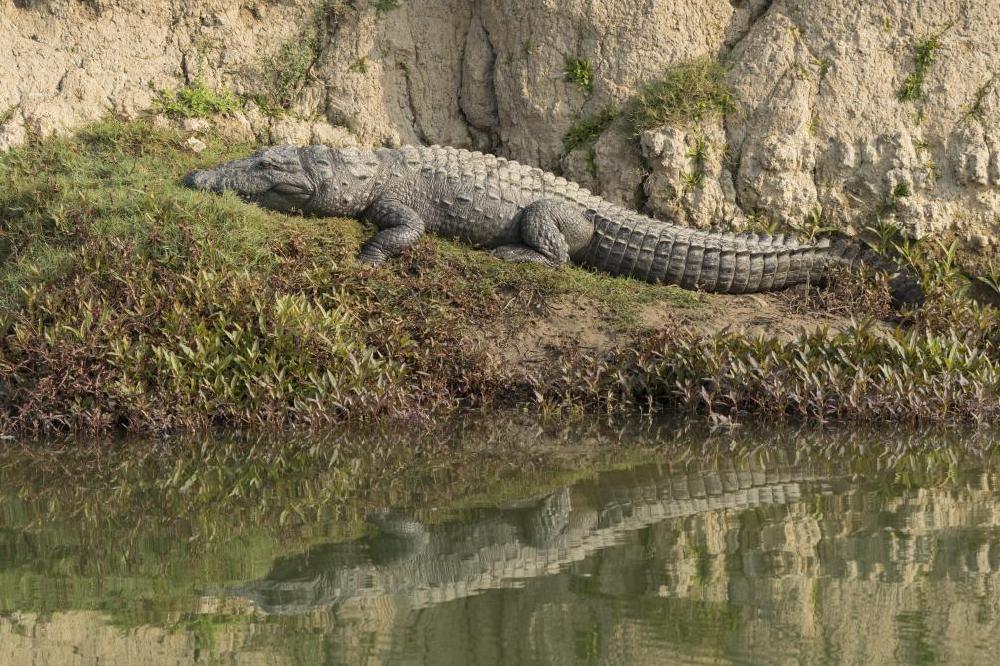 Inde: quand un crocodile devient un otage pour en tirer une rançon ( Vidéo )