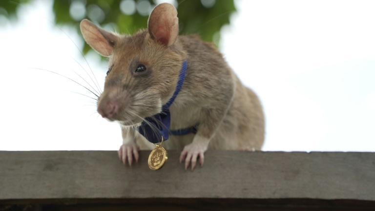 Cambodge : un rat détecteur de mines prend une retraite bien méritée
