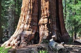 USA: Agé de plus de 2 000 ans, l'arbre le plus grand du monde emballé par les pompiers pour le protéger des incendies