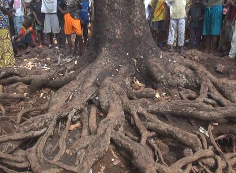 Miracle: un manguier déraciné par une tornade  s'est replanté de lui même, jeudi matin,  à Conakry