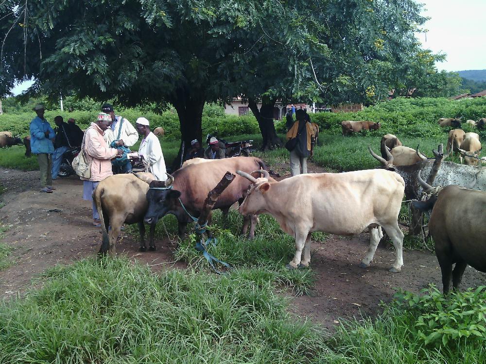 Vol de bétail à Pita: un chef de secteur pris en flagrant délit