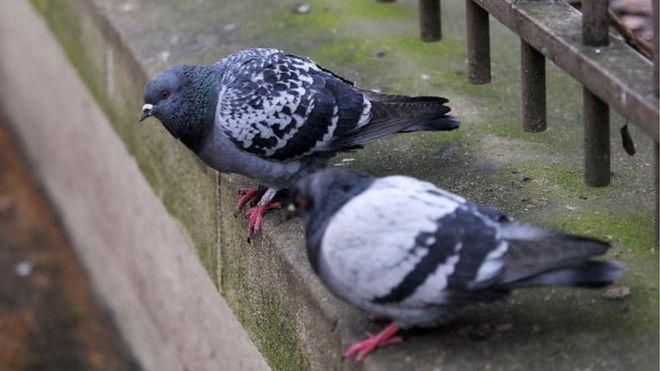 Argentine : pigeon trafiquant de drogue