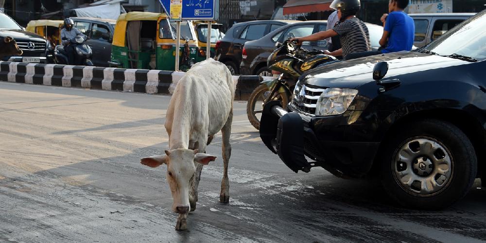 Inde : soupçonné d'avoir tué une vache, un musulman battu à mort