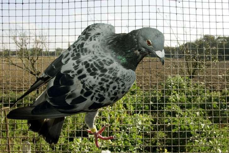 Inde: un pigeon soupçonné d'être un espion pakistanais placé en détention